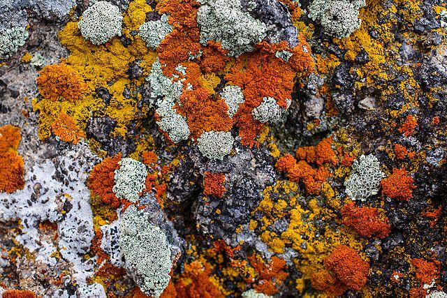 Le lichen est le fruit d'une alliance entre une algue photosynthétique pourvoyeuse d'énergie solaire et d'un champignon dont le mycélium absorbe les sels minéraux de la terre